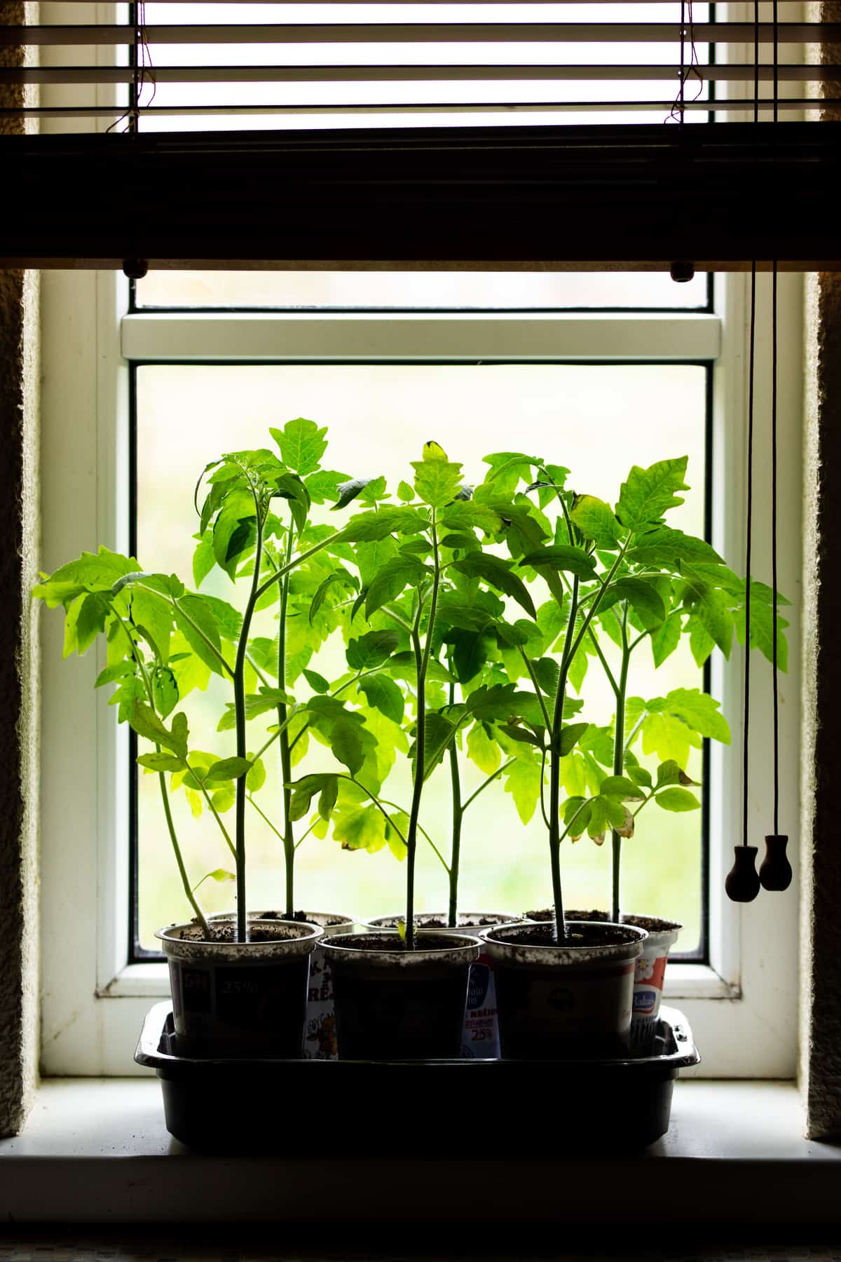 Vegetable seedlings next to a sunny window