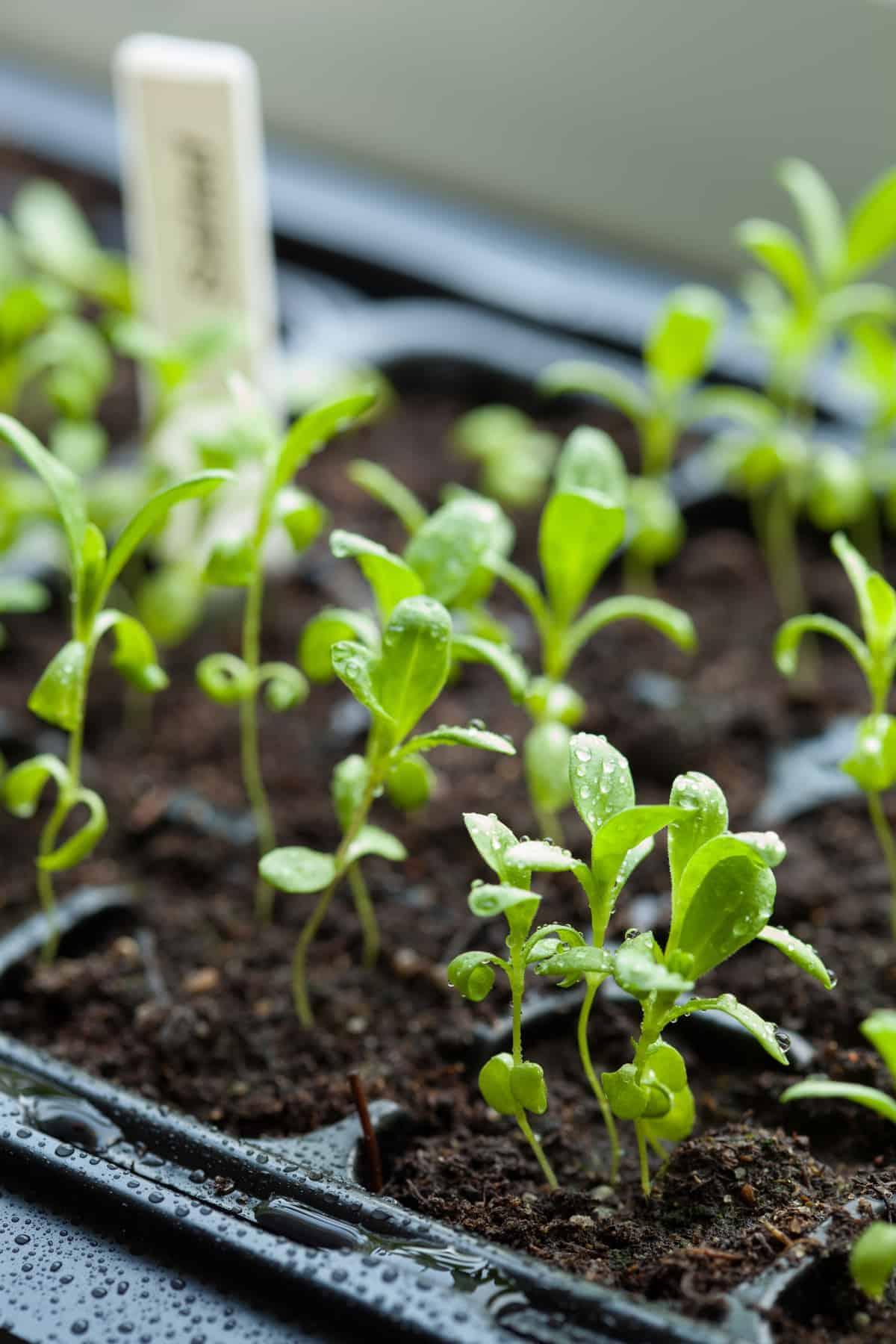 Vegetable seedlings in soil, to teach how to start seeds indoors