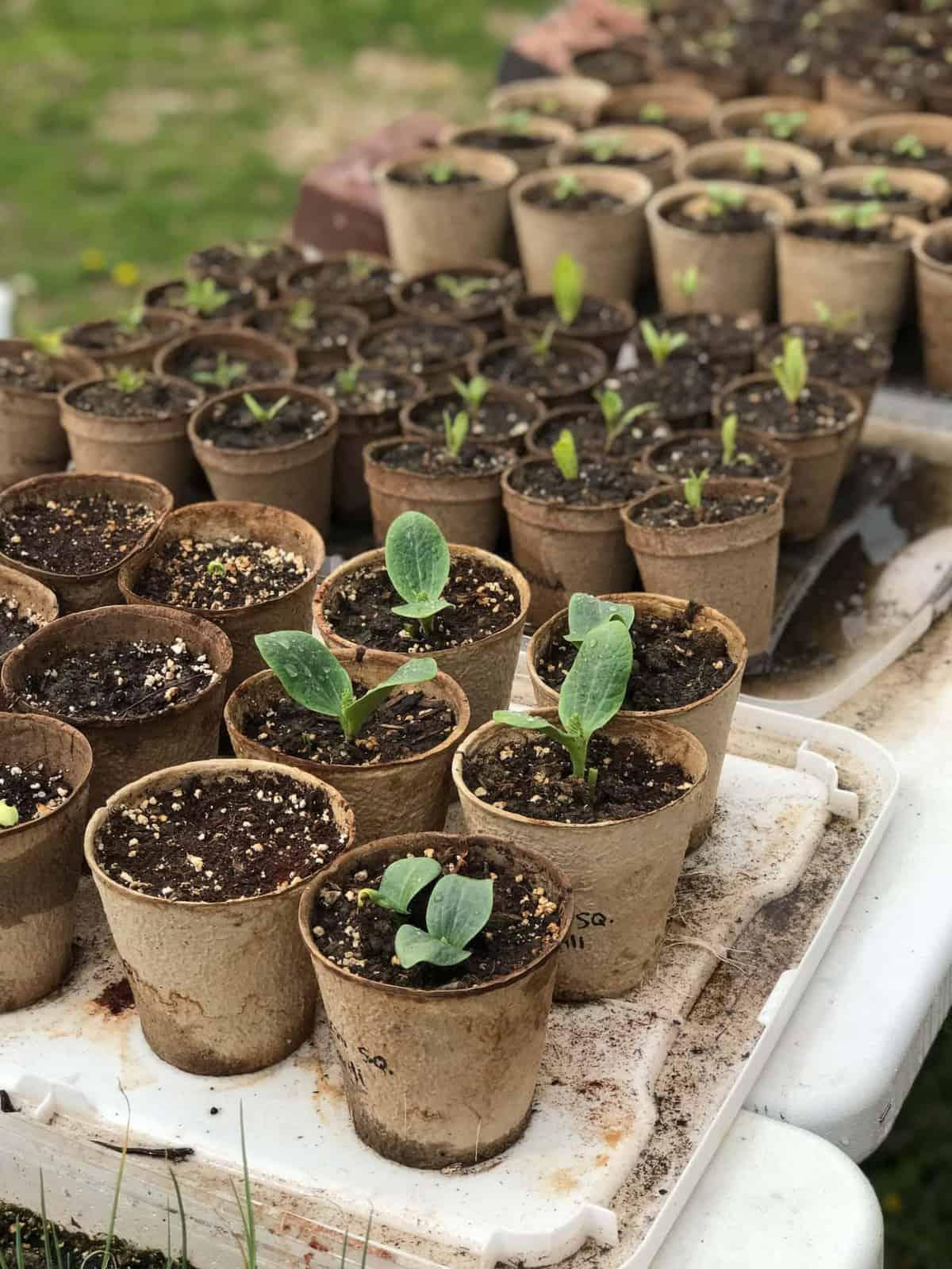 Seedlings in compostable pots.