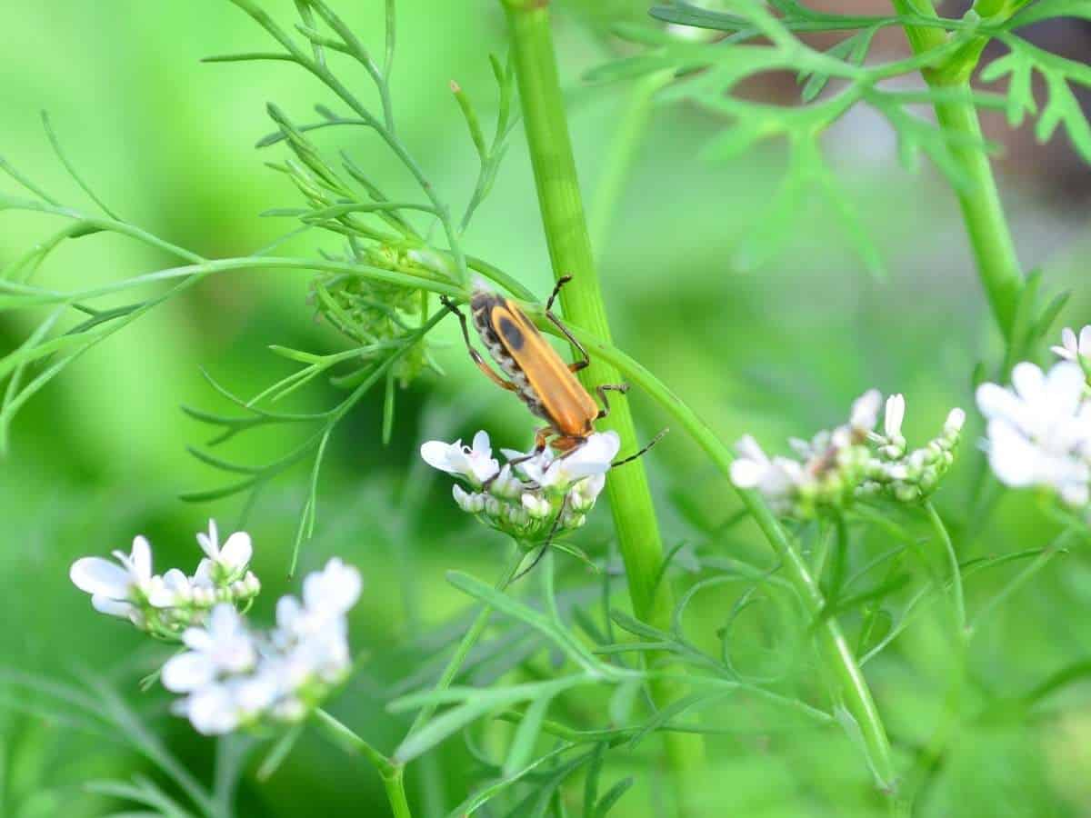A soldier beetle crawls on white cilantro flowers.