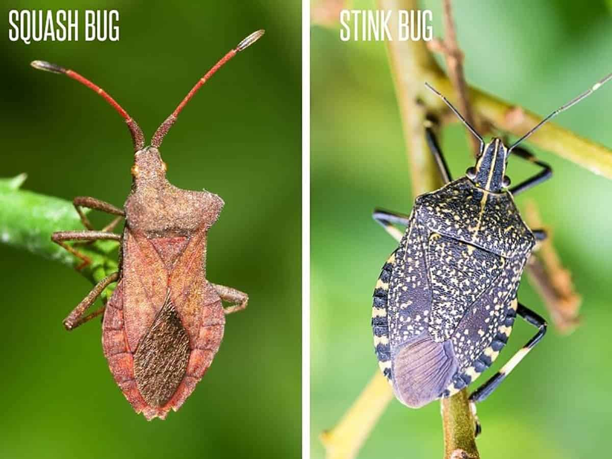 Divided image comparing a squash bug and stink bug.