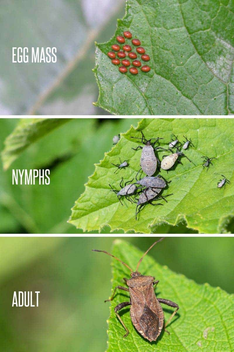 A divided image shows the squash bug life cycle: egg mass, nymphs, and adults.