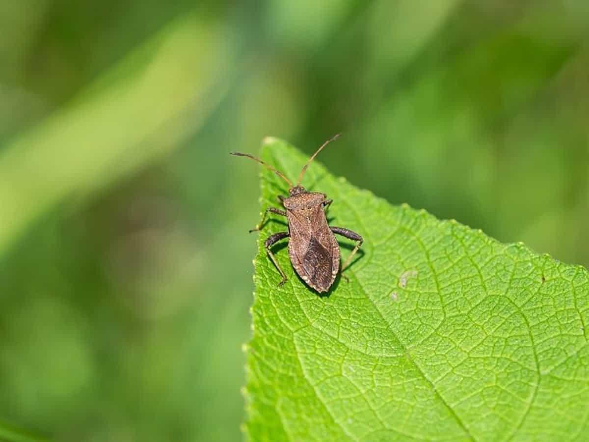 A squash bug is on a cucumber leaf.