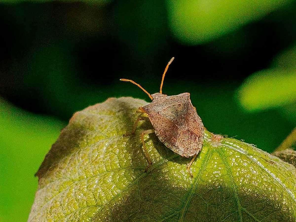 A squash bug sits on a zucchini leaf.