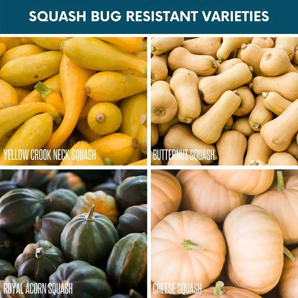 A divided image of squash bug resistant varieties: yellow crookneck squash, butternut squash, royal acorn squash, and cheese squash.