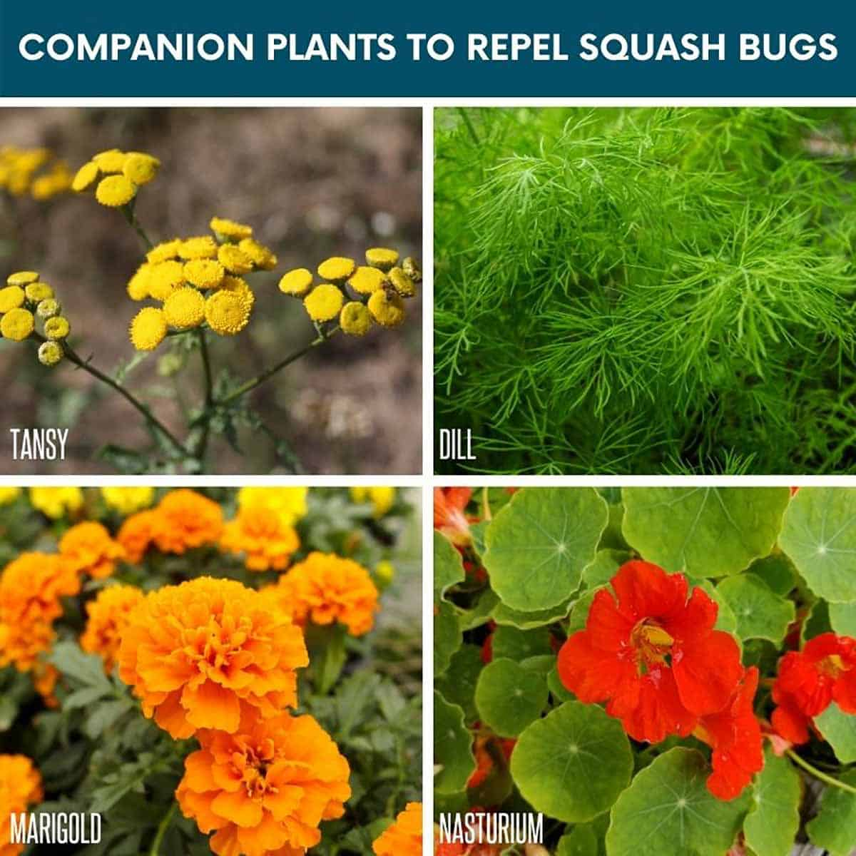 A divided image shows various companion plants to repel squash bugs: Tansy, dill, marigold, nasturtium