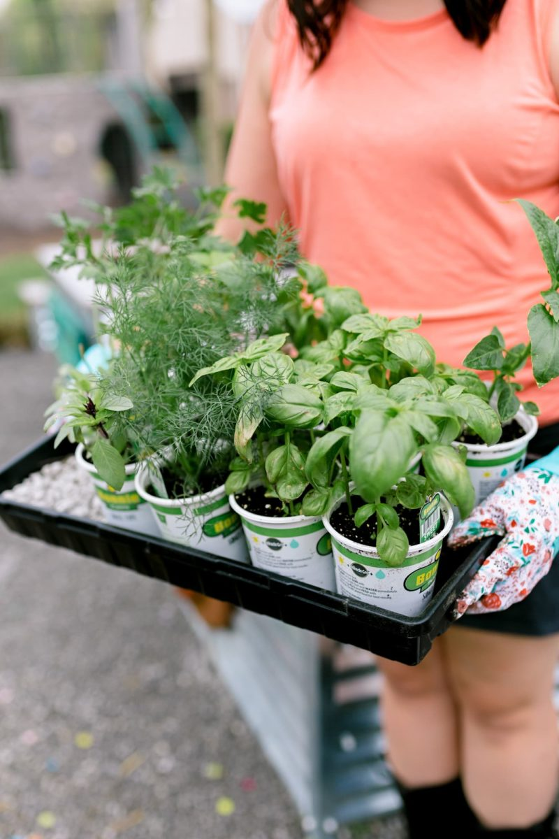 An assortment of store bought herb seedlings is carried on a tray.