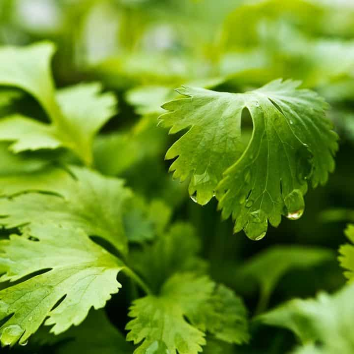 Close up on cilantro leaves