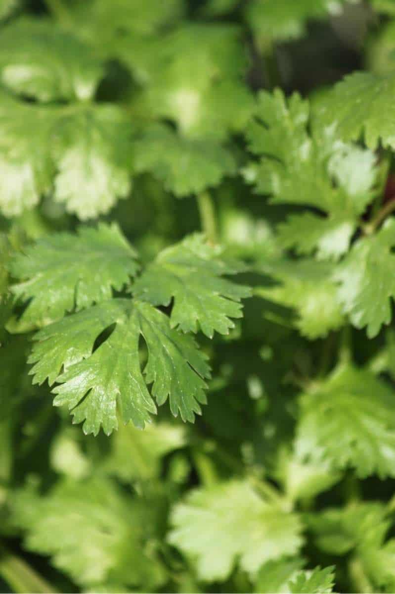 Tight view of cilantro leaves.