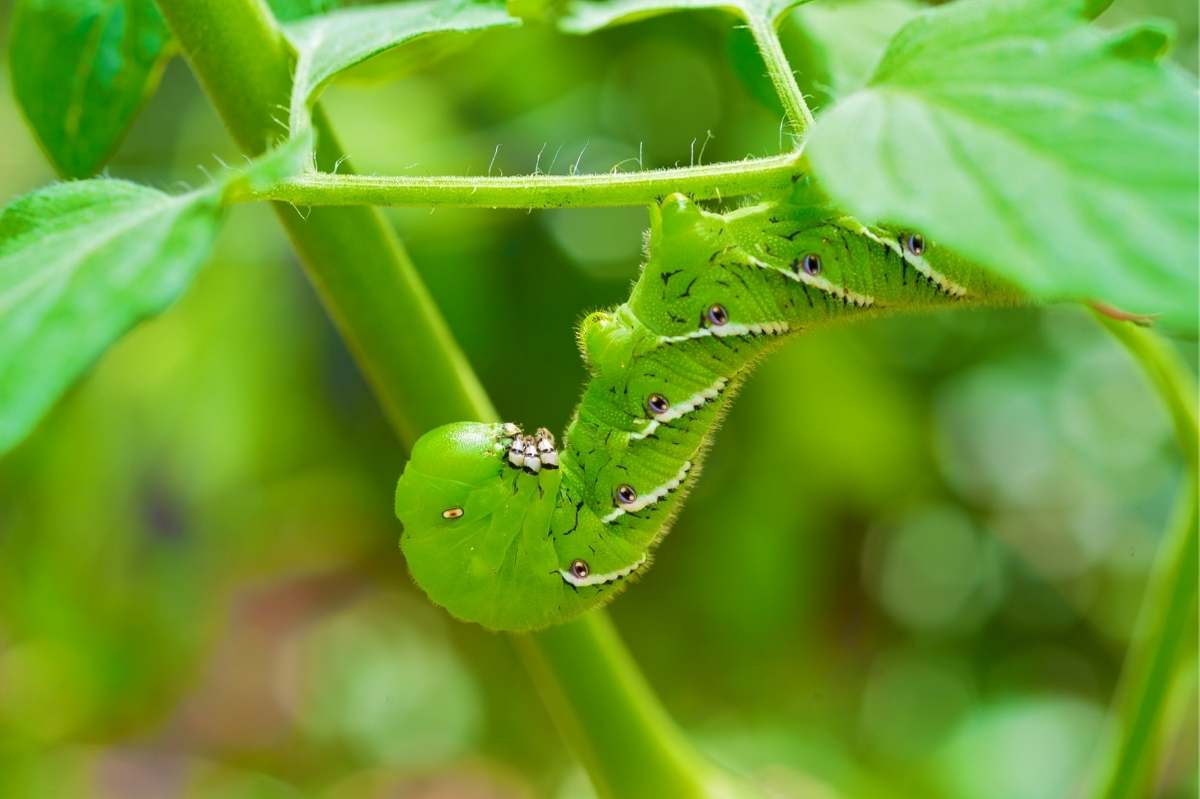 Close up of a tomato hornworm