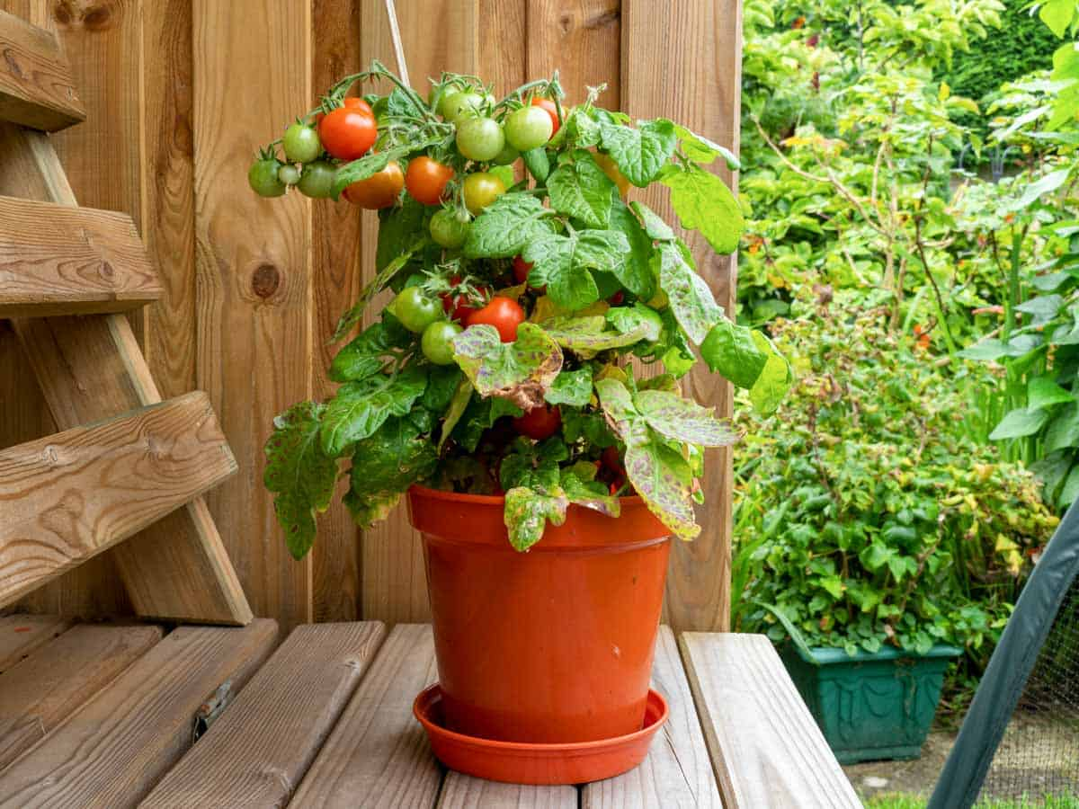 A tomato plant grows in a red container.