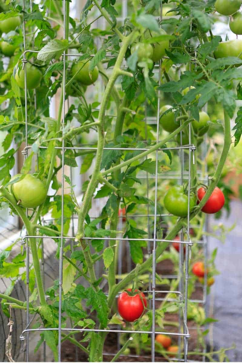 A tomato plant is trained with a tomato cage.