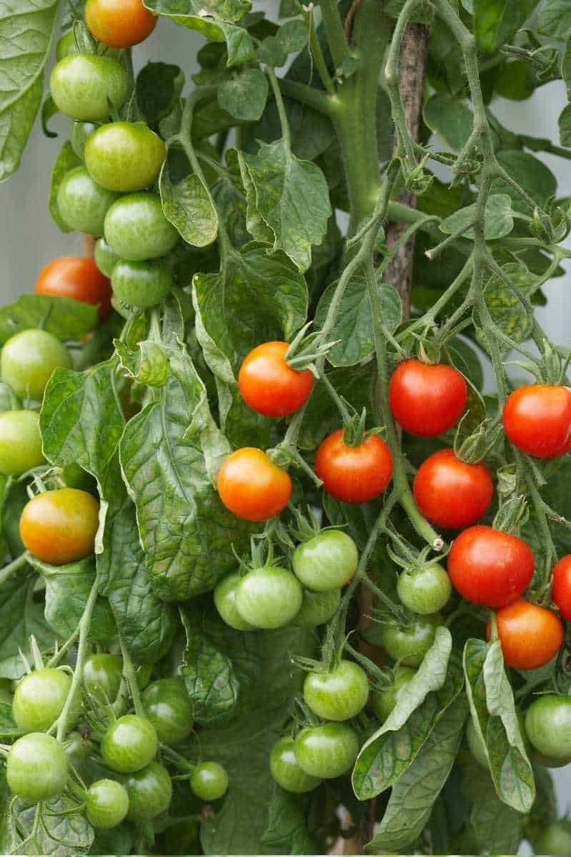 Grape tomatoes at various stages of ripeness hang from a tomato plant.