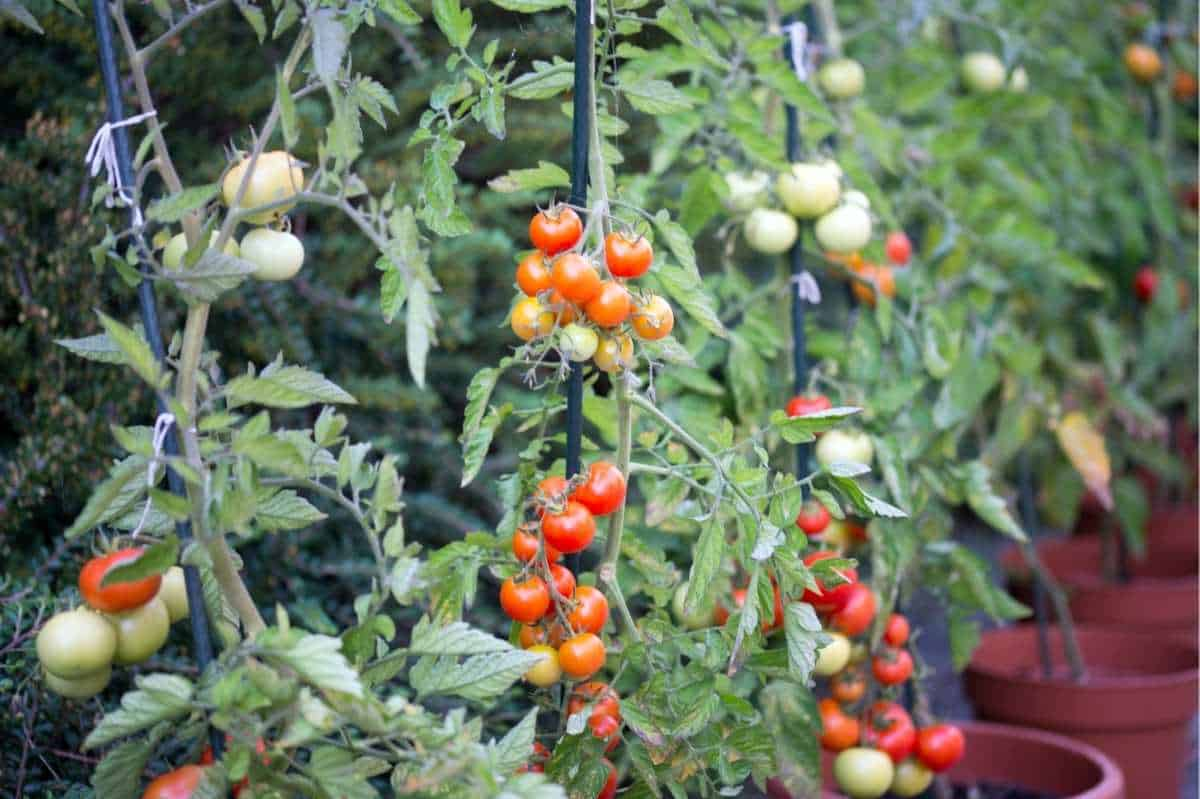 Cherry tomato plants grow in containers and are tied to stakes.