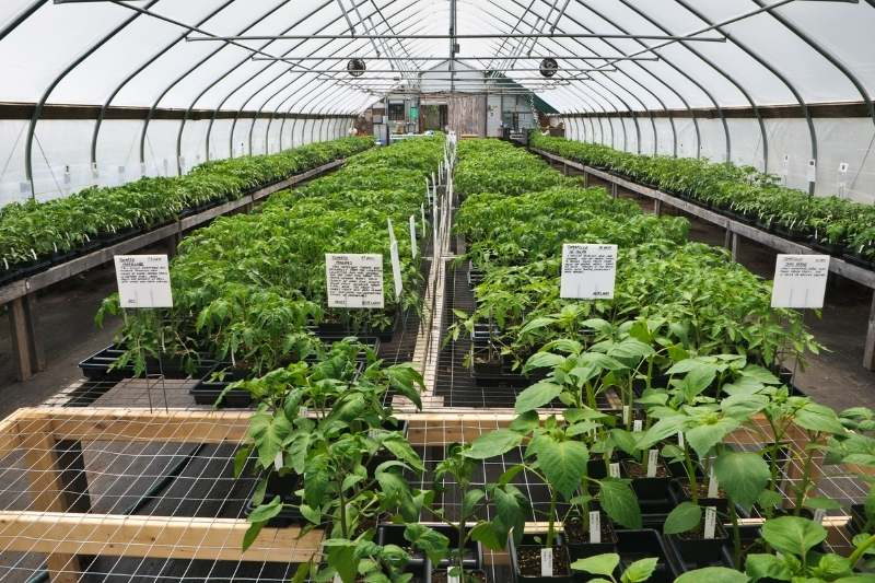Tables of tomato seedlings sit in a greenhouse.