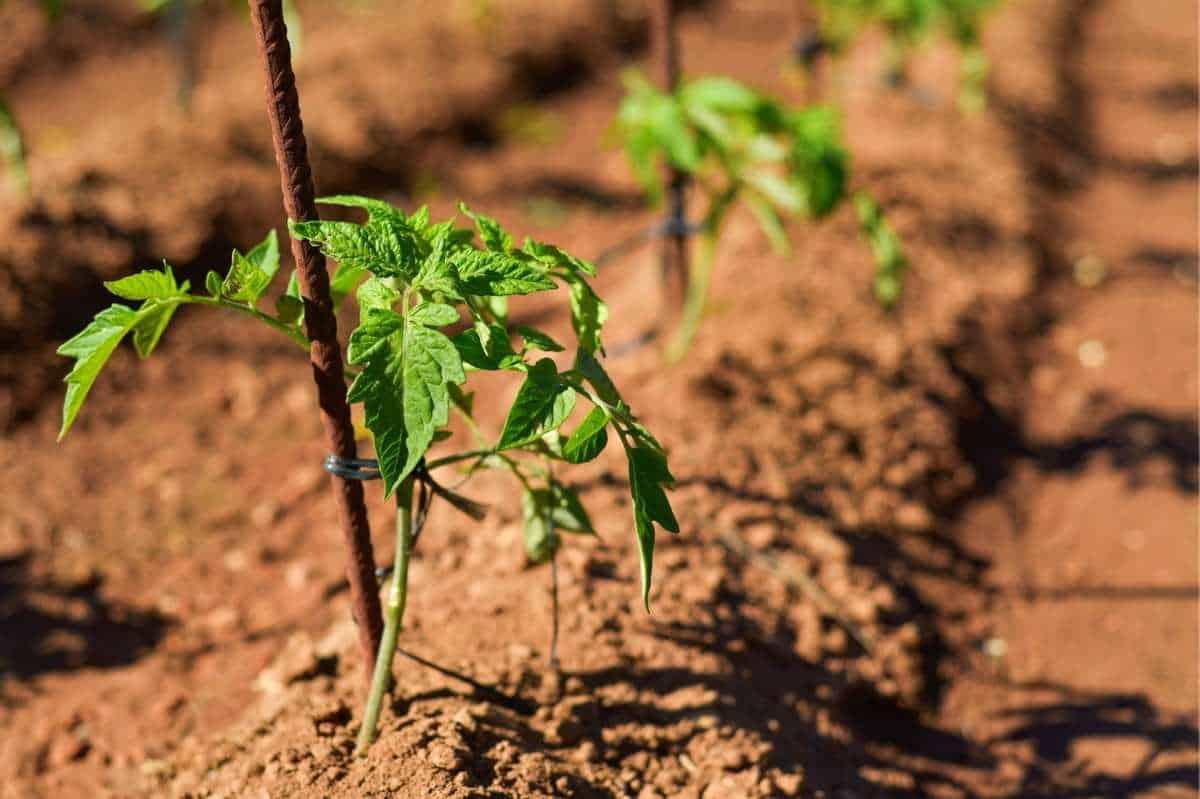 Tomato seedlings grow next to tomato stakes.