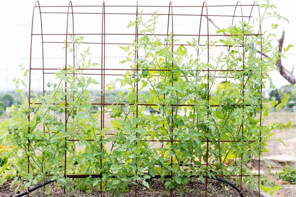 Tomato plants are trained to an arched trellis