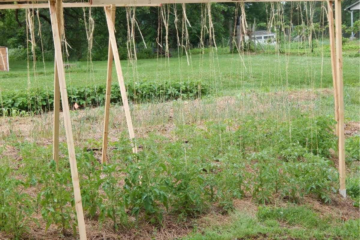 Tomato plants are tied to a string trellis