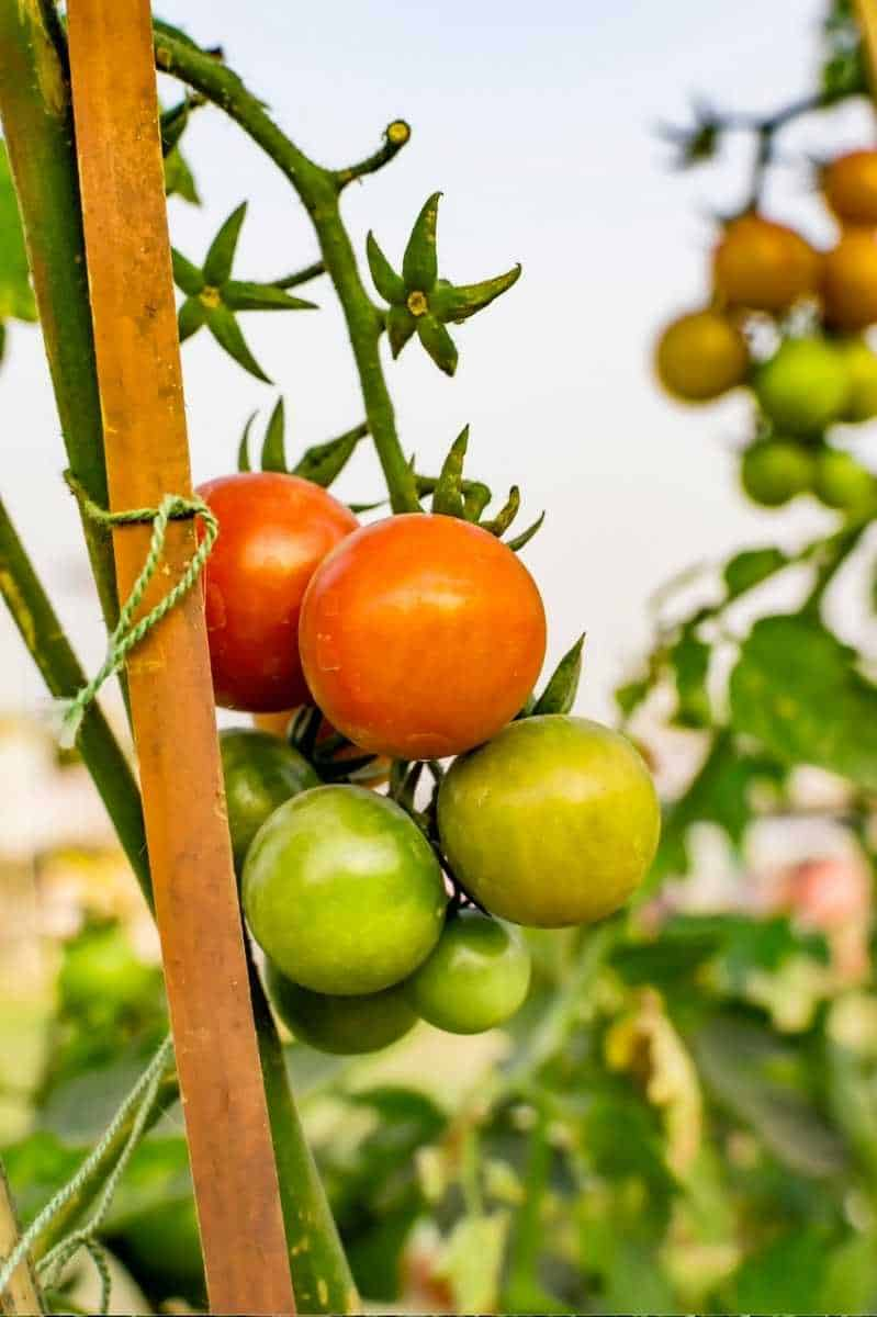 A tomato plant is tied to a tomato stake