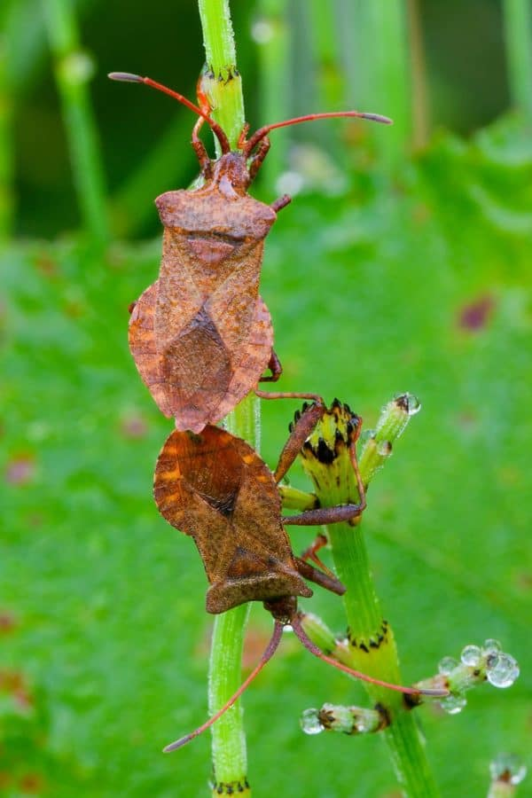 Two squash bugs on a blade of grass.