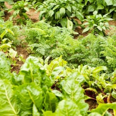 A lush vegetable garden displays many kinds of plants.