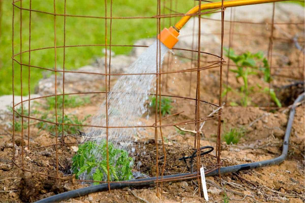 The head of a watering can sprinkles water onto a plant in a tomato cage.