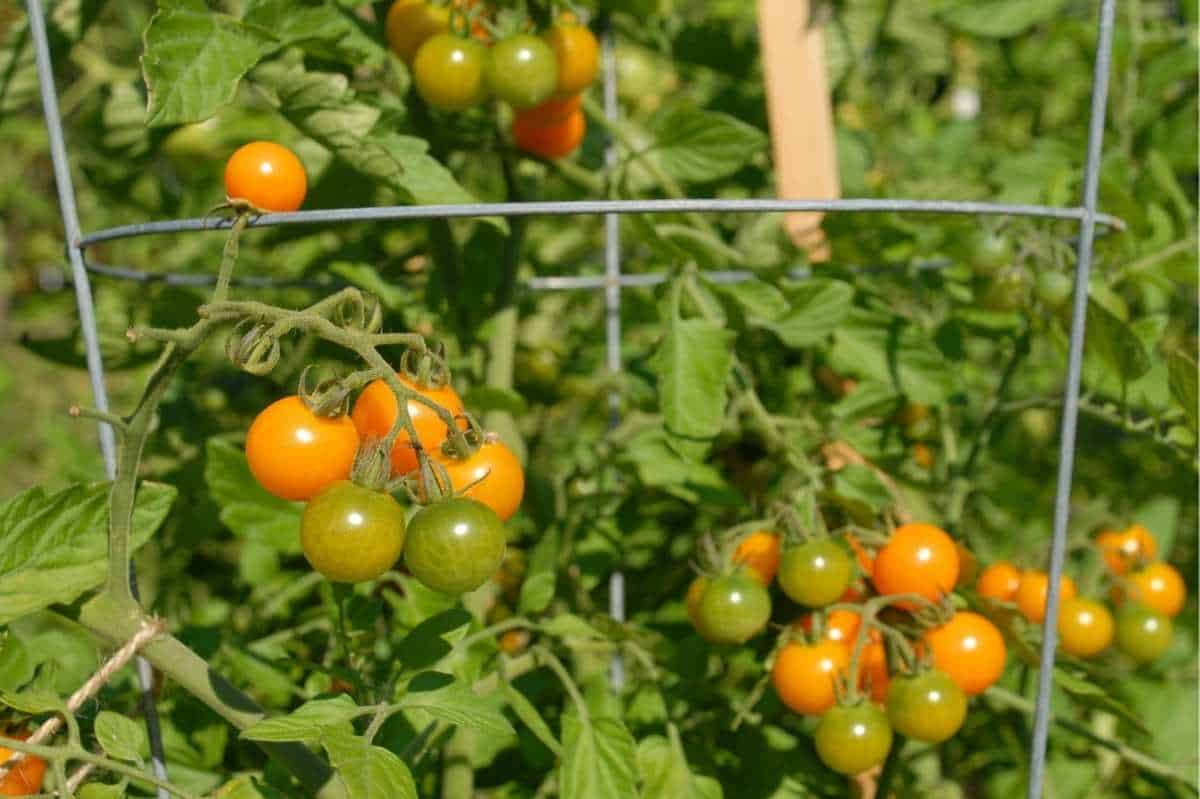 Yellow and green tomatoes grow on a plant in a cage.