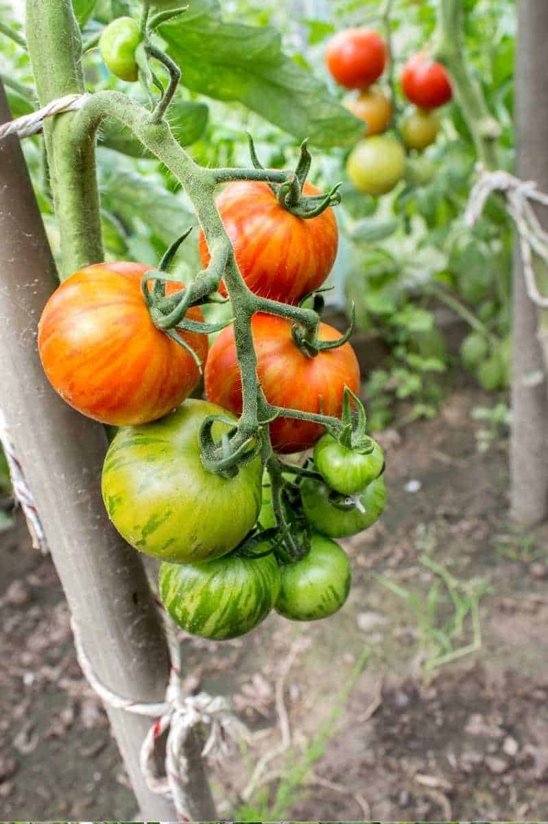 Zebra tomatoes hang from their plant, which is tied to a pole.