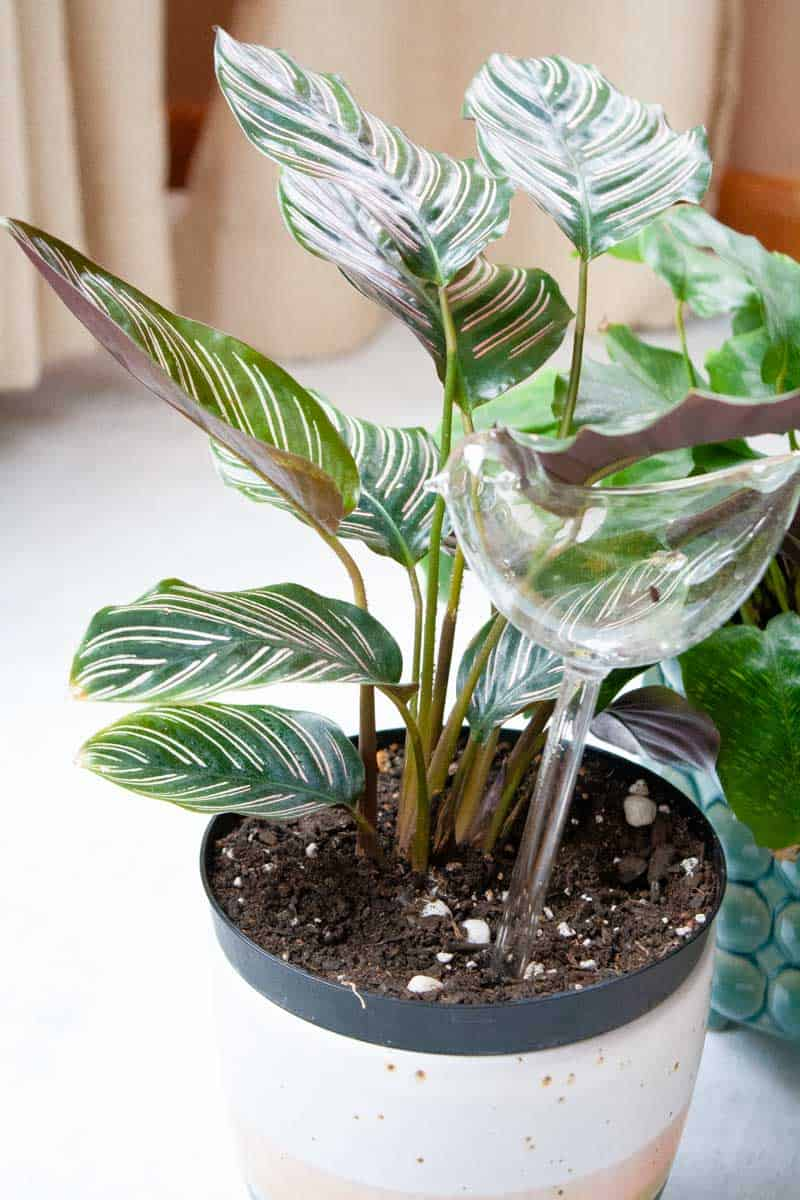 A pinstripe calathea is in a white and pink pot, with a self-watering bulb