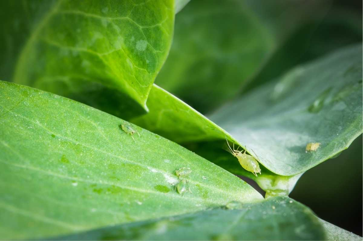 Aphids crawl on green leaves