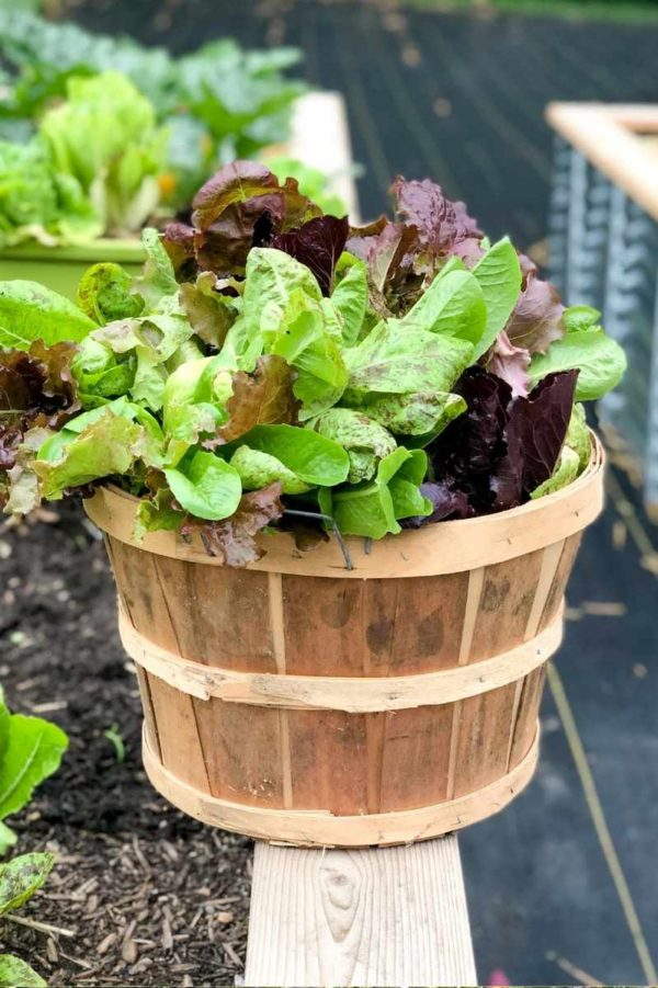 A wooden basket full of just-harvested lettuces sits on the edge of a garden bed.