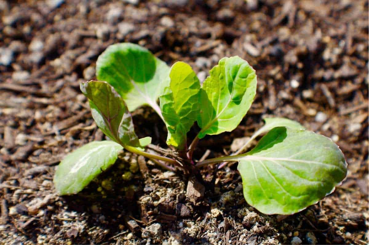 Close up on a Brussels sprouts seedling