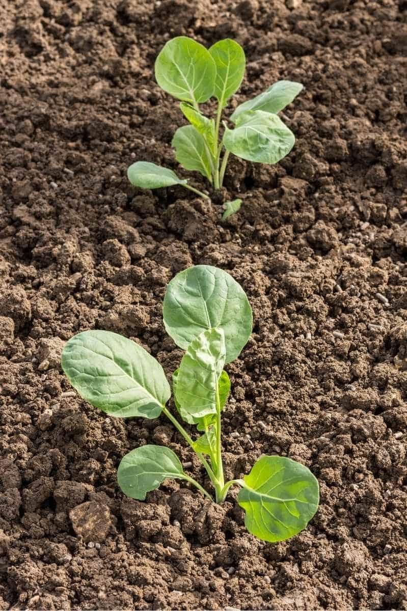Two Brussels sprouts seedlings in soil