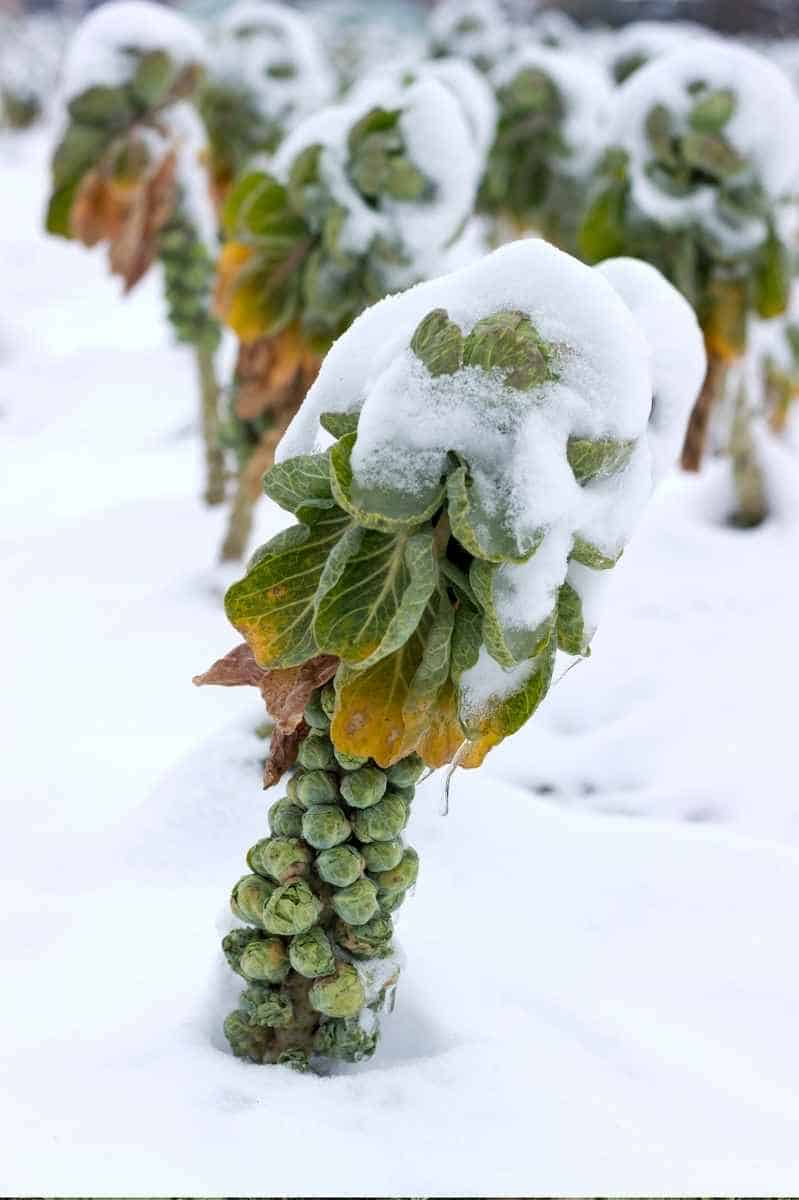 A Brussels sprouts stalk is covered in snow