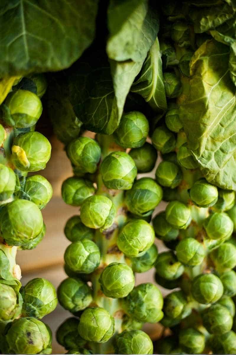 Brussels sprouts grow on stalks