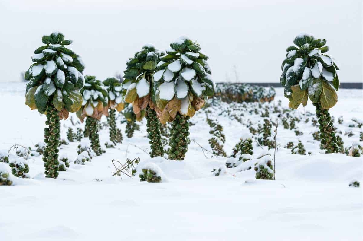 Brussels sprouts trees are covered in snow