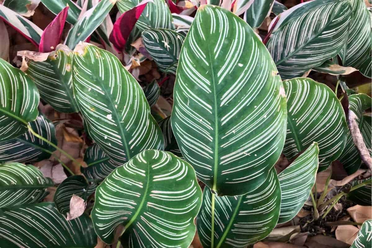 Several calathea ornata grow in front of other calathea