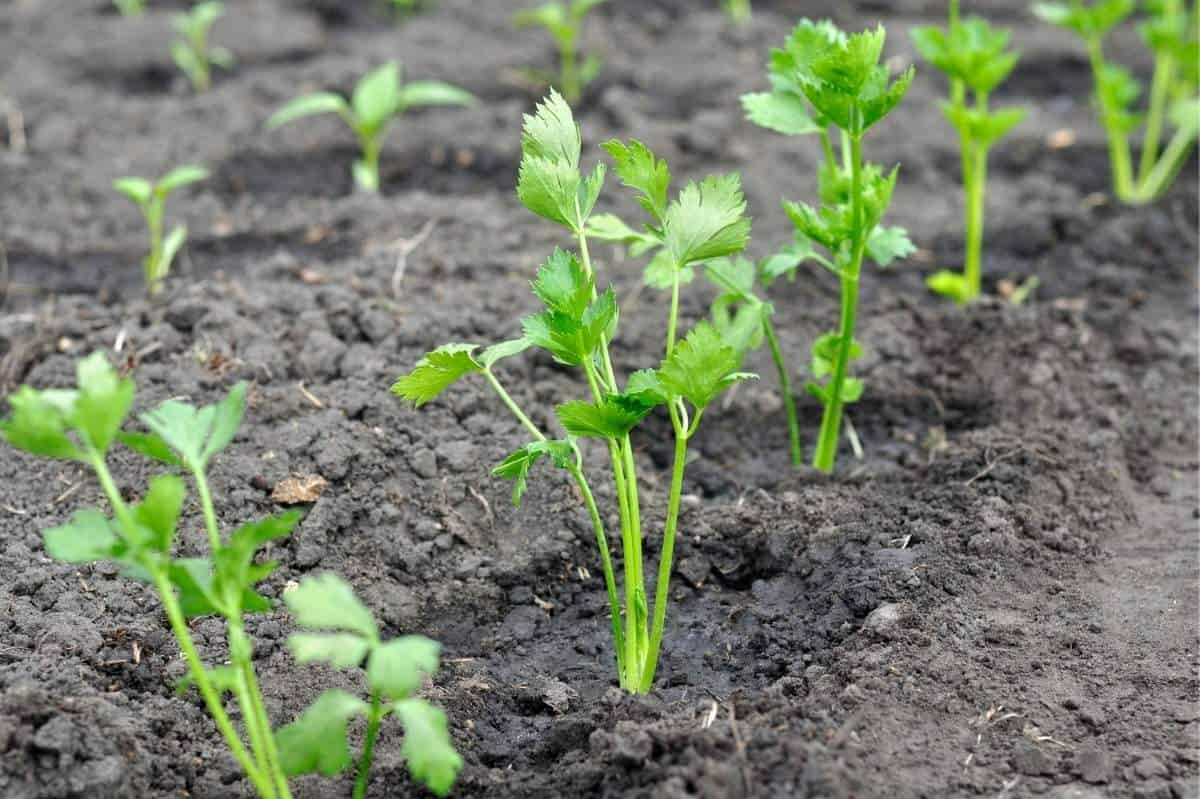 Celery seedlings are planted in a row.