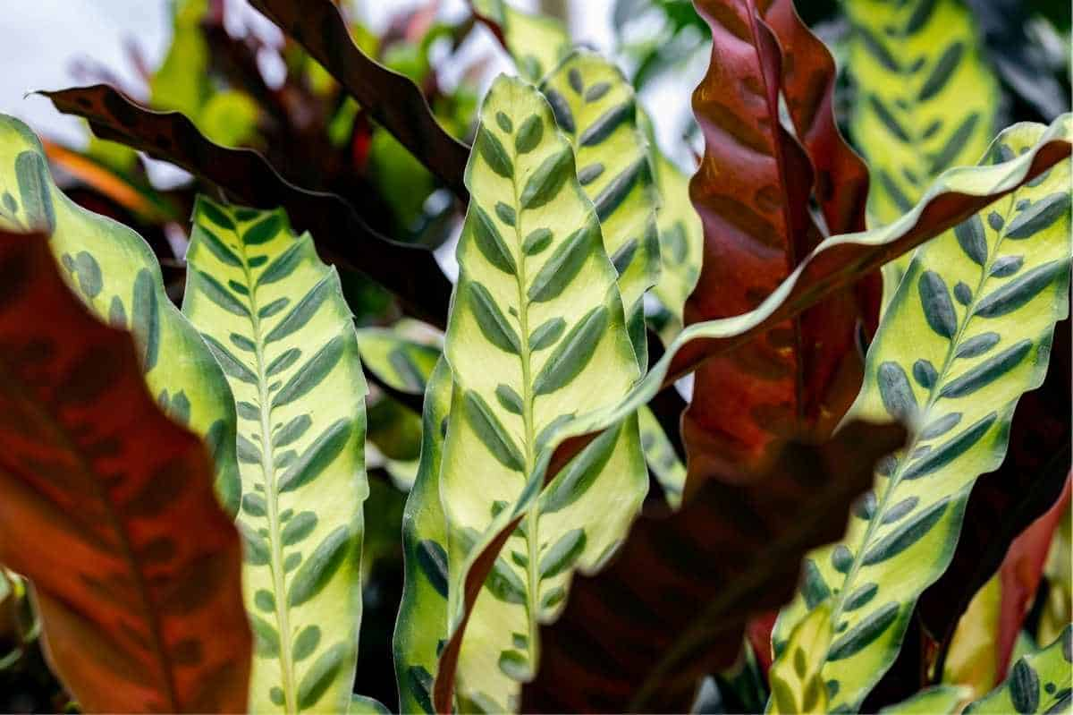 Close up view of wavy rattlesnake plant leaves