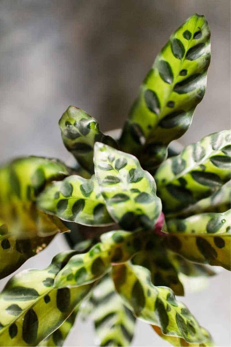 Close up view of calathea lancifolia