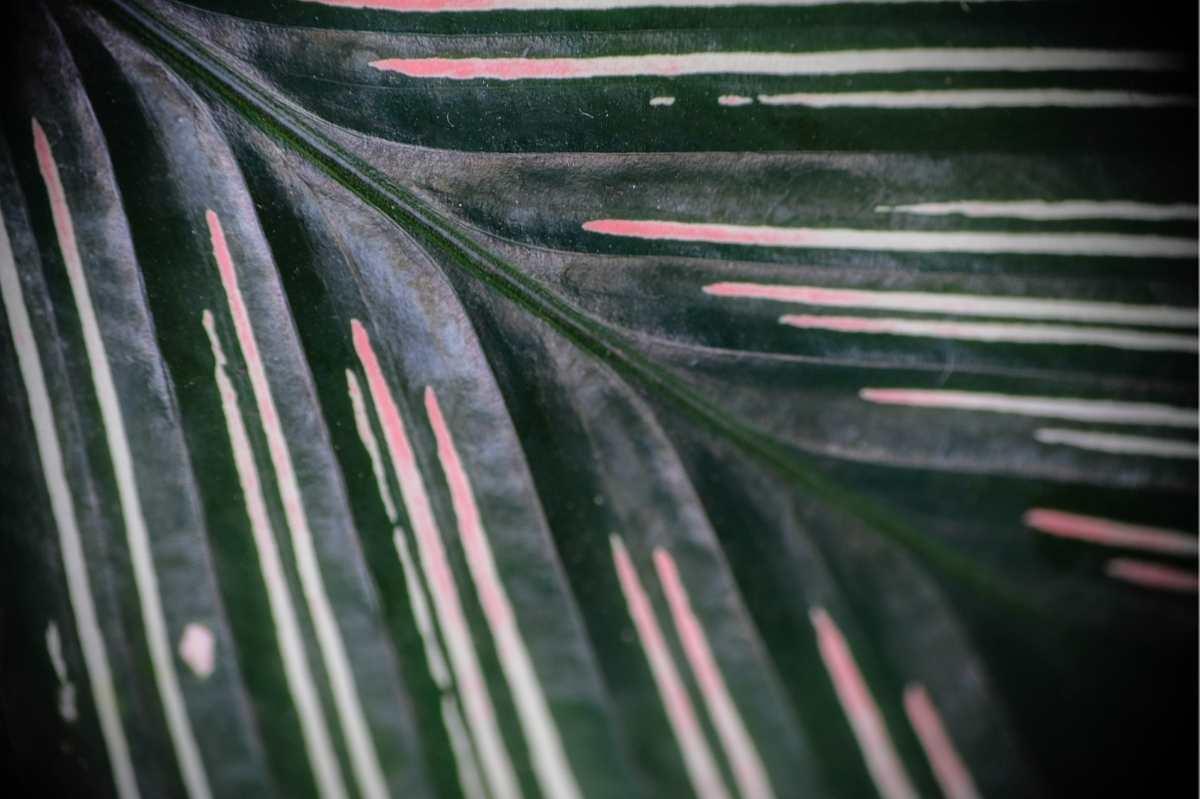 Close up on a pinstripe calathea leaf