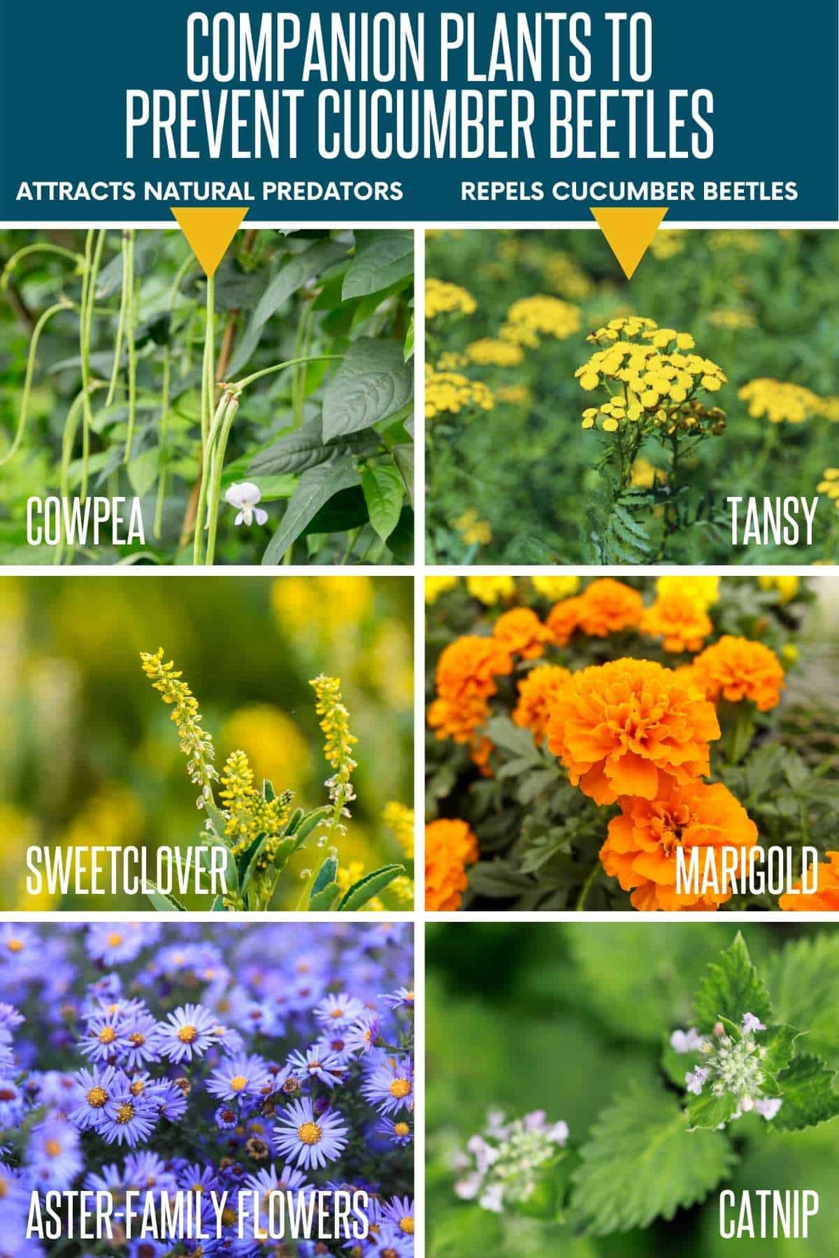 A divided image shows companion plants that can help prevent a cucumber beetle infestation.