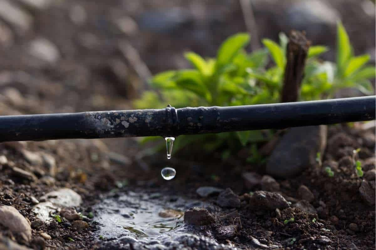 Water drips from a line of drip irrigation in a garden bed