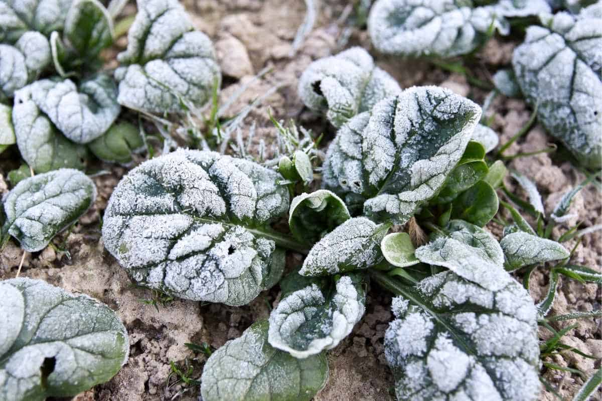 Frost clings to the leaves of spinach plants.