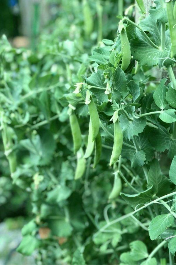 Peas grow on a full, lush vine