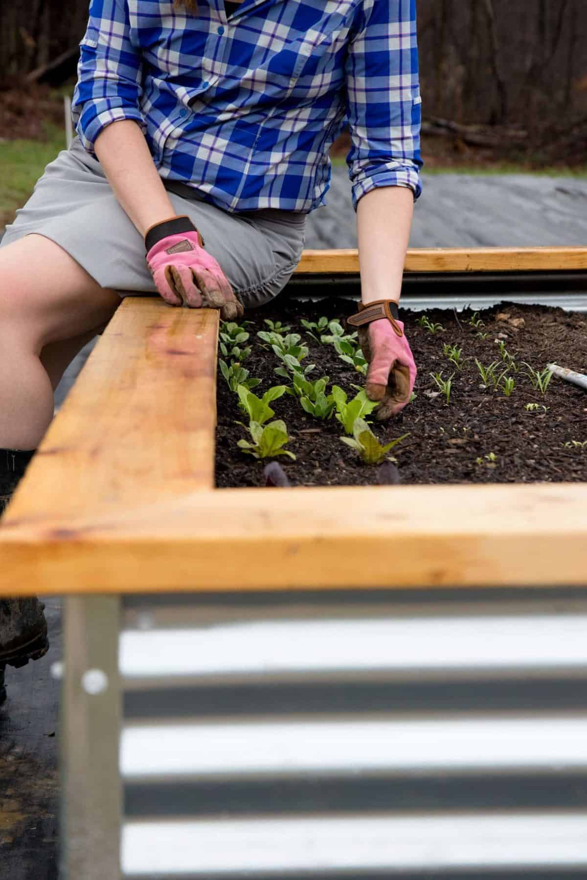 Woman sitting on the side of a raised bed tending to lettuce plants