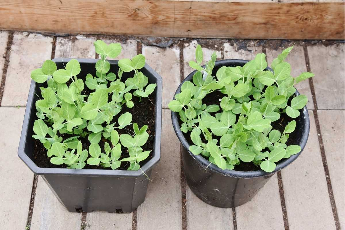 Pea plants grow in two containers on a deck