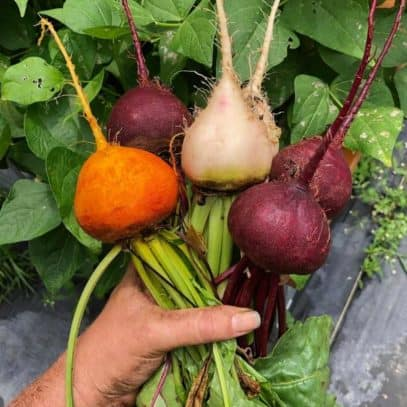 A hand holds multicolored beets
