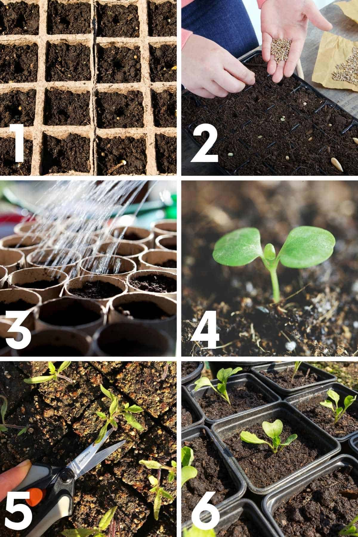 A numbered image shows how to grow Brussels sprouts from seed, step by step