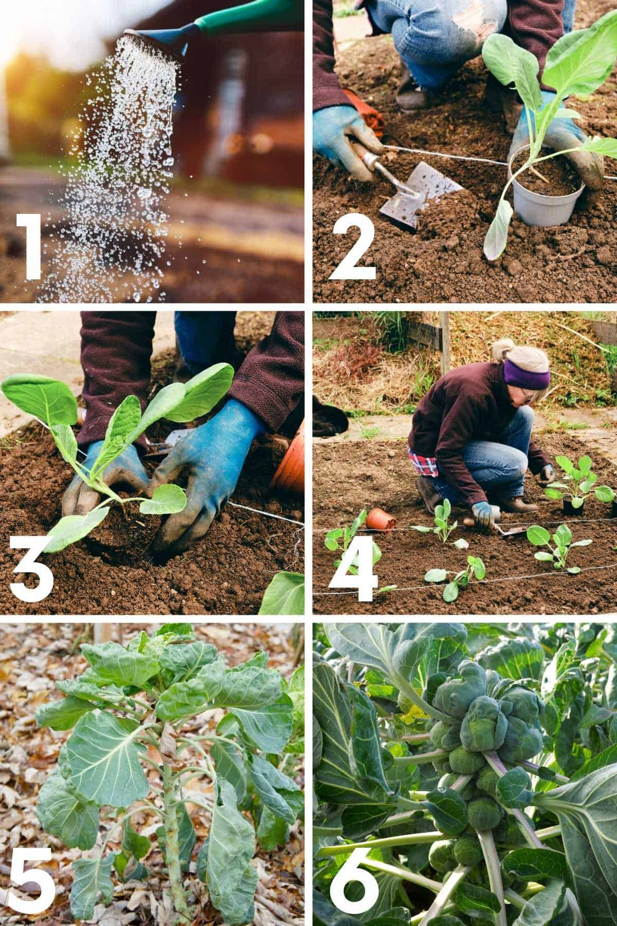 Numbered image showing how to plant Brussels sprouts seedlings step by step